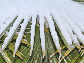 how do i protect palm trees in houston from winter cold and frost