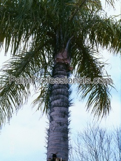 buy macaw palm tree in houston texas