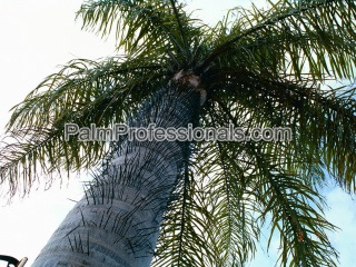 Acrocomia Aculeata palm for sale in houston texas