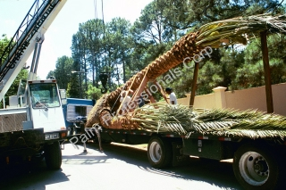 Medjool Date Palm Tree Moved With Crane In Houston, Texas