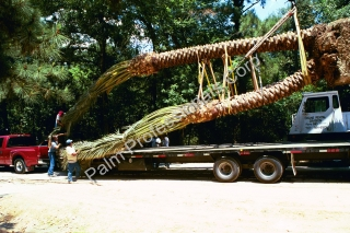 Largest Phoenix Dactylifera Medjool Date Palm Tree Being Installed In Houston Texas
