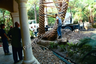 Phoenix Dactylifera Medjool Palm Tree Being Installed With Crane In Houston, Texas