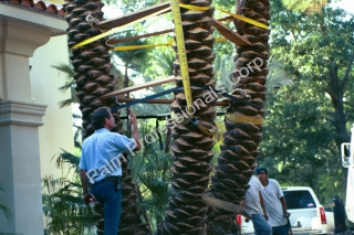 Medjool Date Palm Tree Being Installed By Specialists In Houston, Texas
