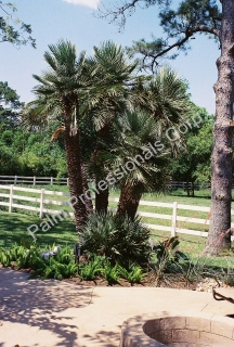 Cold Hardy Mediterranean Fan Palm Trees For Sale In Houston, Texas