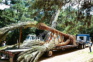 Largest Medjool Date Palm Tree Delivered Across United States Into Houston, Texas
