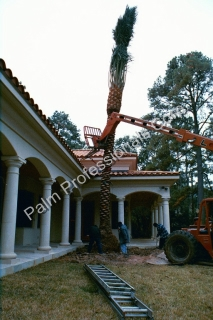 Medjool Date Palm Trees Purchased In Houston, Texas