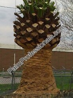 purchase cold tolerant phoenix canariensis pineapple date palm for sale in houston texas