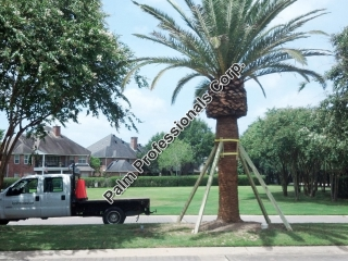 buy big pineapple canary island date palm trees for sale in houston texas