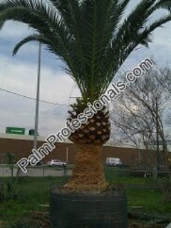 buy canary island date palm trees in houston texas for sale at wholesale direct prices