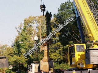 buy big phoenix canariensis pineapple palm trees from experts in houston texas