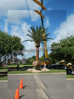 professional canary island date palm tree company in houston texas