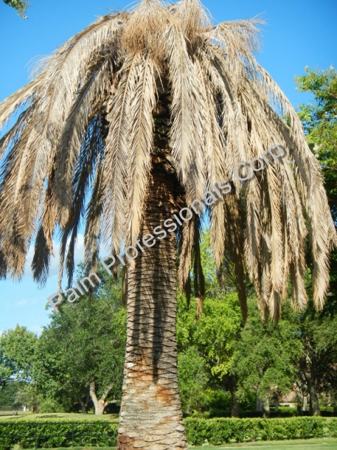 Big Texas Canary Island Date Palm Dying