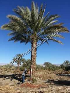 Date Palm Tree Sales And Installation