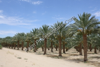 Purchase Phoenix Dactylifera Medjool Date Palm Trees From Grower At Wholesale Prices - Houston Texas