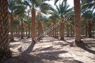 Buy Medjool Date Palm Trees Direct From Grower At Wholesale Pricing For Commercial Projects - Houston Texas