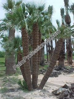 Buy Mediterranean Fan Palm Trees In Houston Texas - Cold Tolerant Resistant Palms