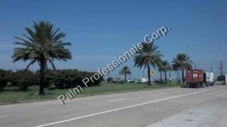 Phoenix Dactylifera Medjool Date Palm Tree Sales And Installation