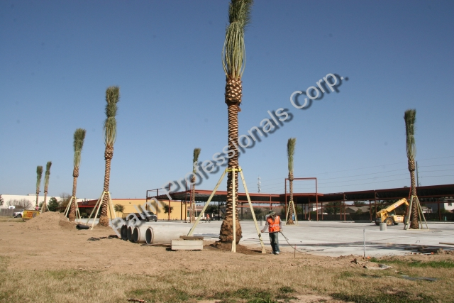 Wholesale Medjool Date Palm Trees Purchased From Growers In Houston, Texas