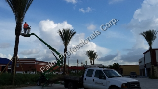 Later, We Provide Professional Follow Up Care And Maintenance Of The Medjool Date Palms.