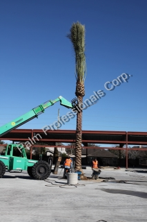 Installation Of Medjool Date Palm Trees On Commercial - Wholesale Project