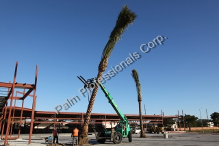 Installation Of Medjool Date Palm Trees In The Designated Locations According To Their Labels