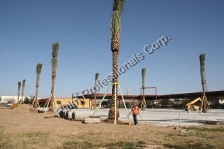 Our Company Is The Best Wholesale And Commercial Medjool Date Palm Tree Sales And Installation Company In Houston Texas