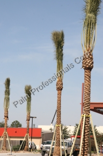 Medjool Date Palm Tree Supports Installed On Commercial Projects For Safety