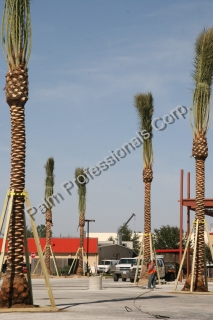 Wholesale Medjool Date Palm Trees Purchased And Installed In Houston, Texas - Commercial