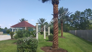 Medjool Date Palm Trees Installed In Friendswood - South Houston, Texas
