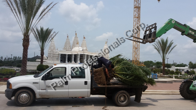 Medjool Date Palm Trees For Sale In Houston Texas Buy