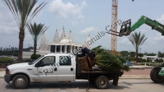 Our Commercial-Wholesale Specialists Installing Medjool Date Palm Trees In Texas - SouthWest Houston