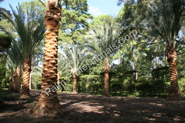 Buying Medjool Date Palms For Homes In America Houston