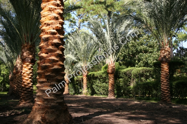 Medjool Date Palm Trees Purchased And Installed From Growers In Houston, Texas