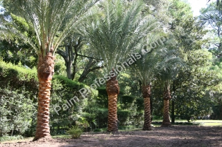 Only Hire A Professional Medjool Date Palm Tree Company To Move Trees