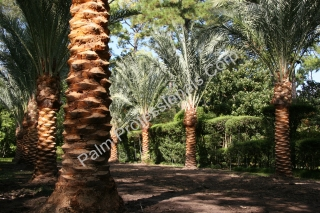 Next We Perform Our Special Soil Amendments While Back-Filling Medjool Date Palm Roots