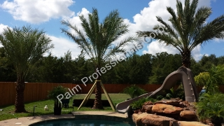 Medjool Date Palm Trees Sold And Installed At Home Residence