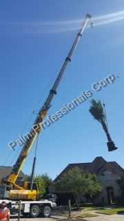 Beginning Installation Of Medjool Date Palm Trees Over House