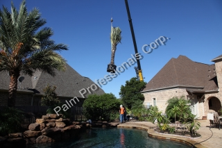 Medjool Date Palm Trees Lifted With Crane Over Residential Home During Installation In Houston, Texas