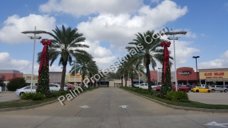 Medjool Date Palm Trees Installed In Katy, Texas - West Houston