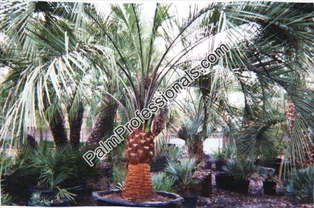purchase cold hardy pindo palms at wholesale prices direct from growers in houston texas