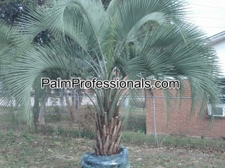 cold tolerant and freeze hardy butia capitata pindos for sale in houston texas