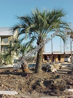 Butia Capitata - Pindo Palm - Buy A Cold Hardy Palm Tree In Houston Texas