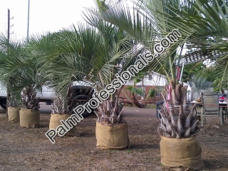 Buy Pindo Palms In Houston Texas At Wholesale Prices Direct From Grower
