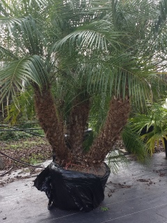 purchase dwarf pygmy date palm trees in houston texas for sale