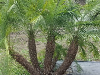 Pygmy Date Palm Trees Phoenix Roebelenii For In Houston Texas