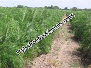 buy pygmy date palm trees direct from grower at wholesale prices in houston texas