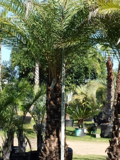 cold tolerant silver date palm trees for sale in houston texas