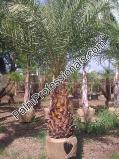 Cold Hardy Phoenix Sylvestris Silver Date Palm Trees For Sale In Houston Texas