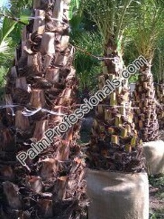 buy silver date palm trees in houston texas phoenix sylvestris are also called wild date palm tree