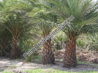 Purchase Silver Date Palm Trees - Phoenix Sylvestris Direct From Grower At Wholesale Prices in Houston Texas